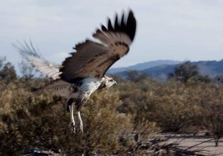 Un ejemplar de águila coronada, será liberado en Escuela que apadrina la FO
